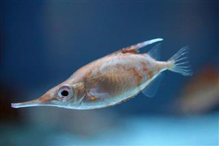 Longspine Snipefish
