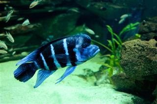 Frontosa Cyphotilapia Fish