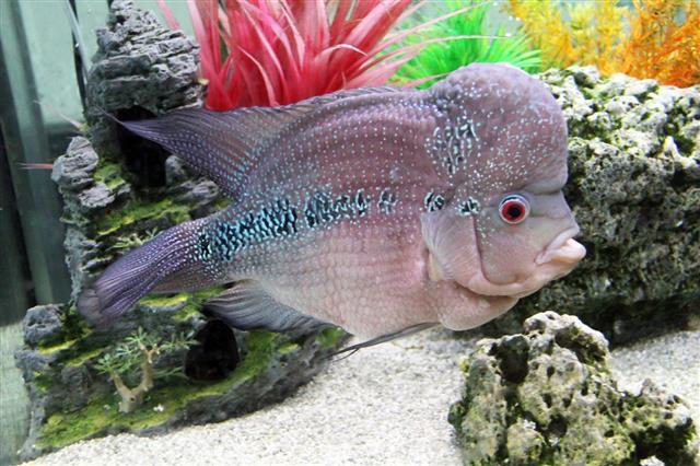 Aquarium Redhead Cichlid