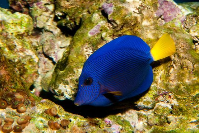 Caribbean Blue Tang
