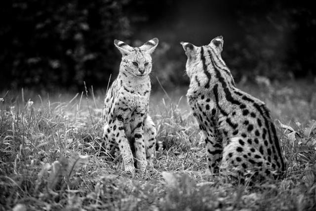 Animal Photography Cheetah Babies