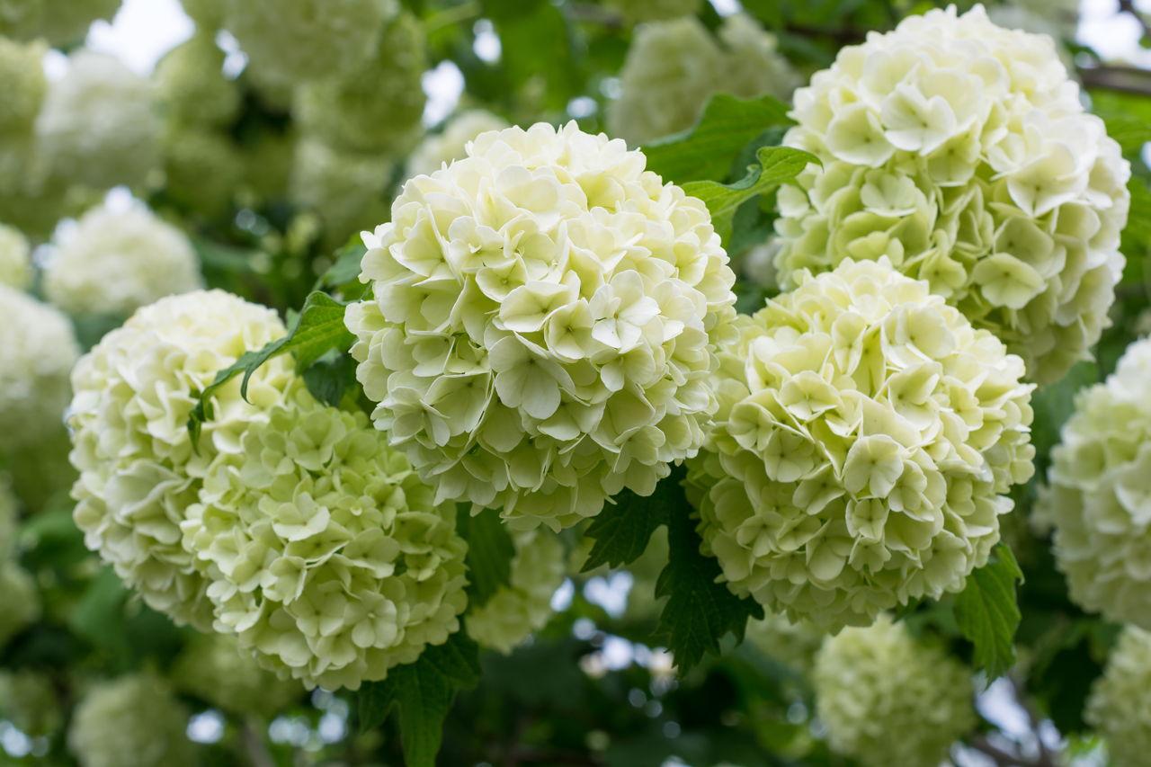 White flowering shrubs white flowers of viburnum snow ball mightylinksfo