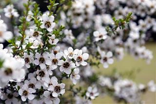 Manuka Tea Tree