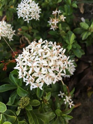 White Ixora Coccinea Flower