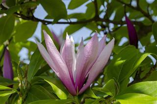 Beautiful Flower Of Fragrant Magnolia