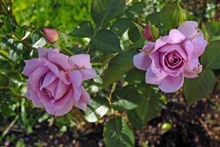 Pink Rose Buds Bursting In Bloom