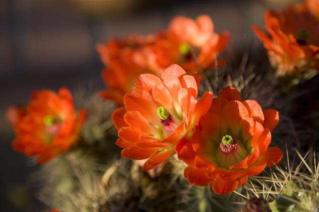 Orange Hedgehog Cactus Flowers