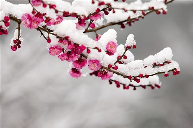 Plum Snow
