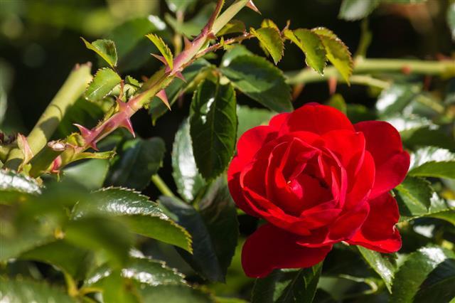 Detail Of Red Rose In Bloom