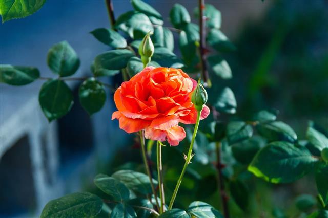 First Orange Rose Blossom