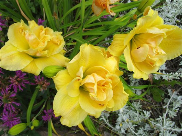 Double Stella Doro Lilies