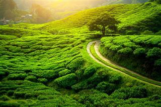 Tea Plantation Natural Lanscape