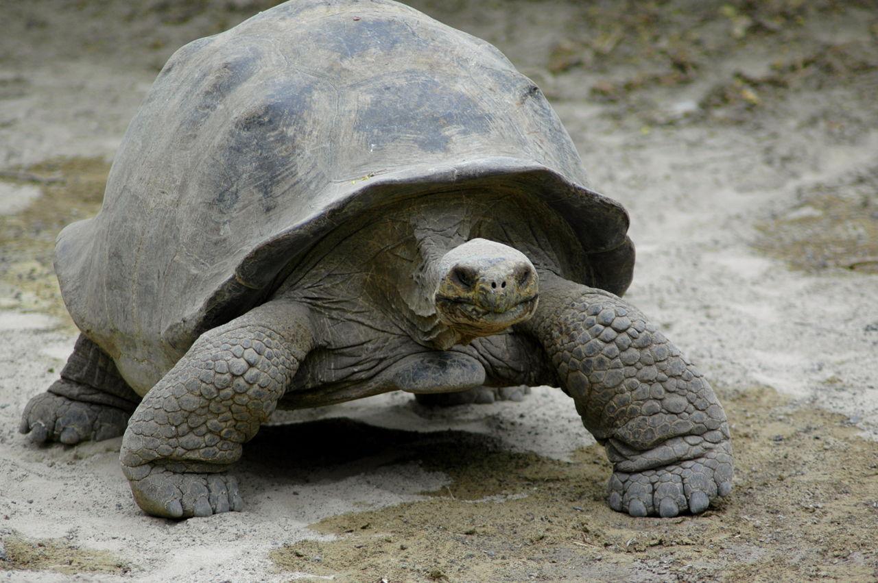 Sulcata Tortoise Pet Care