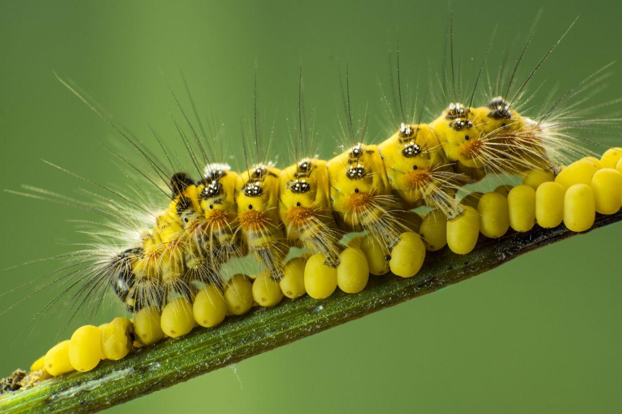 A Beginner's Guide to Caterpillar Identification