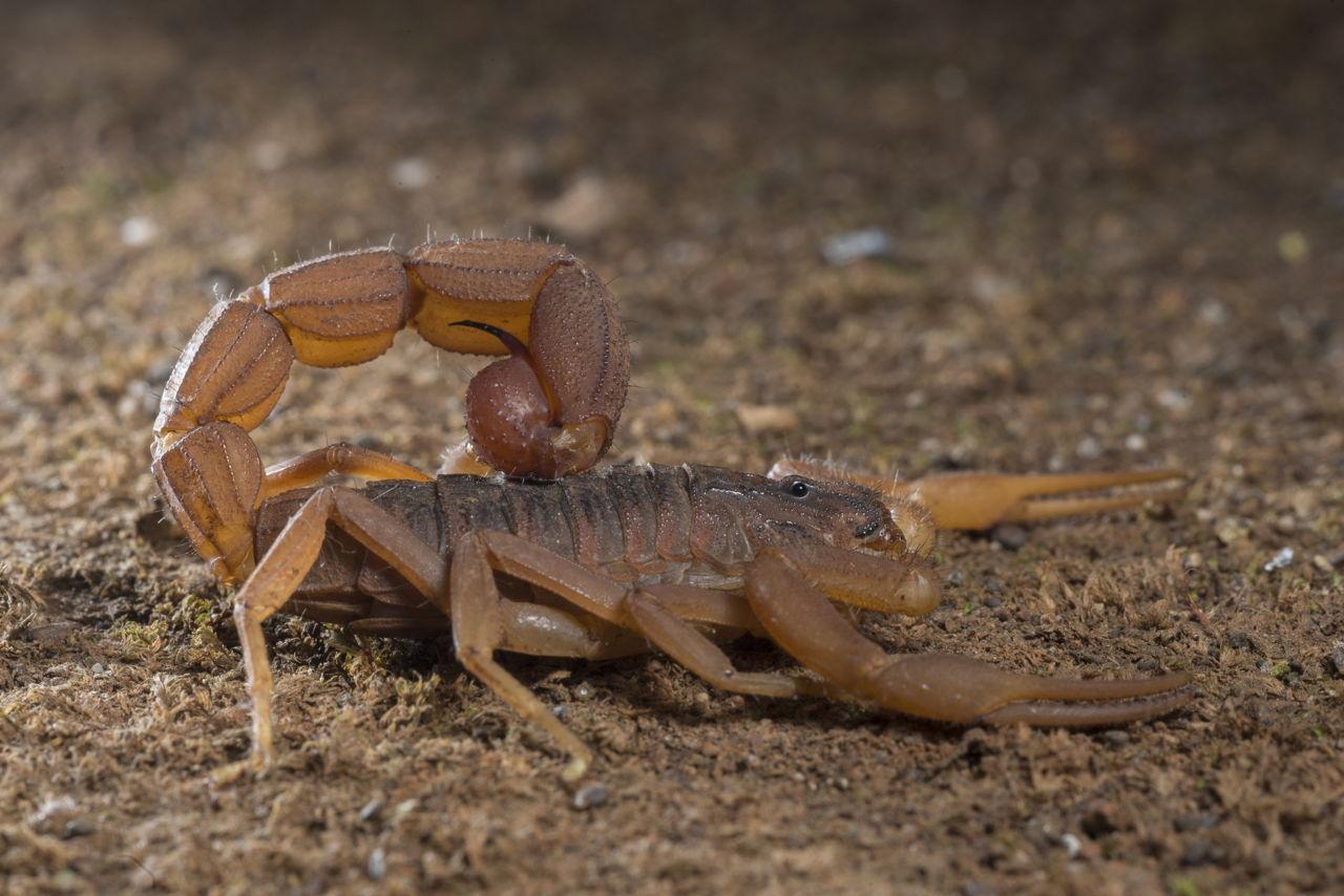 How do scorpions part