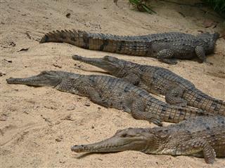Crocodiles On The Beach