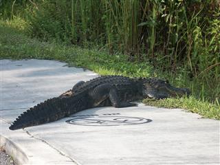 Alligator On The Road