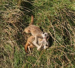 Meerkats Fighting Playing