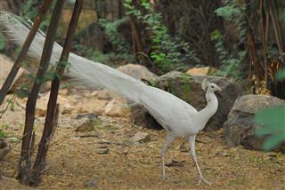 Peafowl In Thiruparankunram