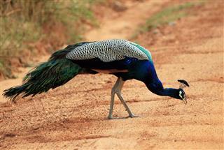 Peacock Feeding