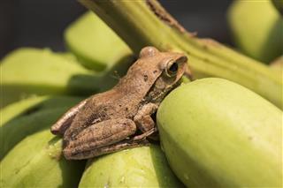 Tree Frog On Plant