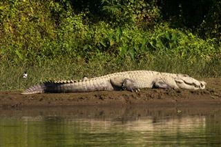 Huge Crocodile Laying