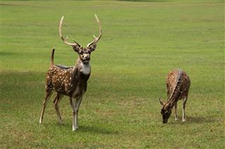 Axis Deer Spotted Buck