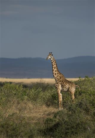 Giraffe At Masai Mara