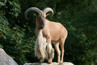 Aoudad Barbary Sheep