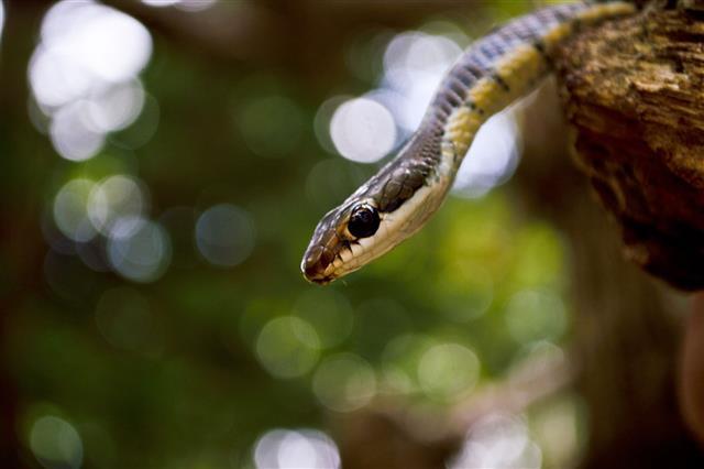 Bronzeback Tree Snake