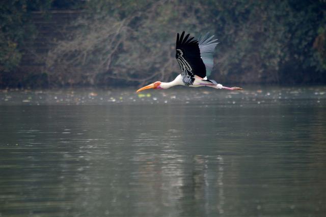 Flying Siberian Crane