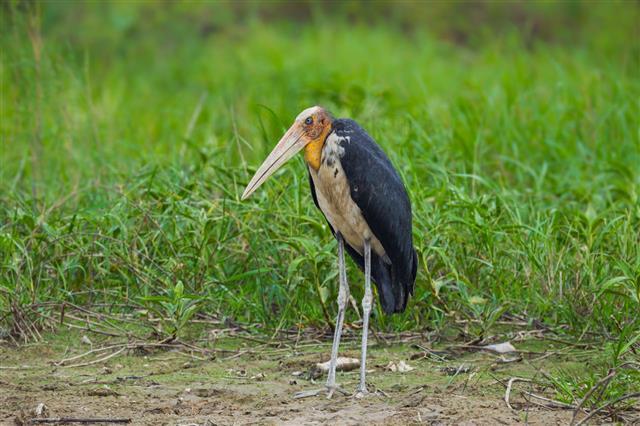 Lesser Adjutant Stork
