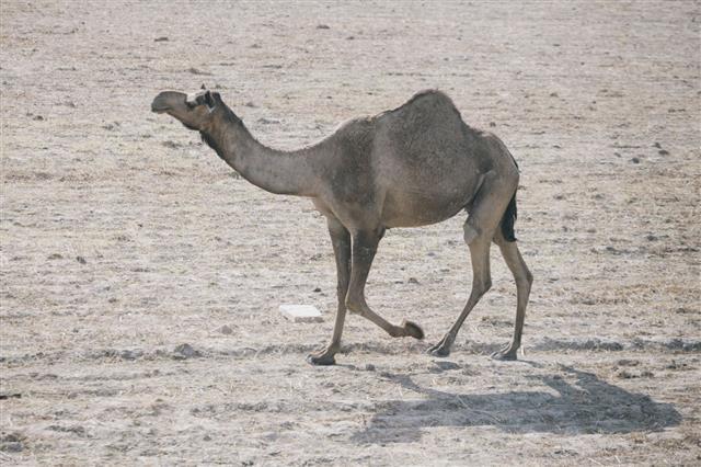 Camel Running Rajasthan