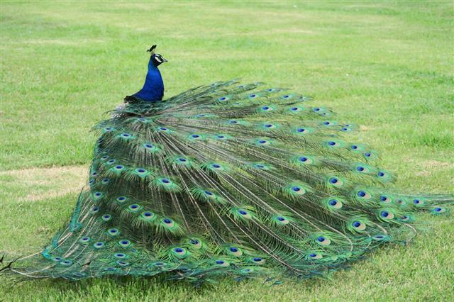 Peacock Displaying Its Plumage