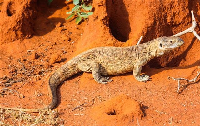 Lizard East In Kenya