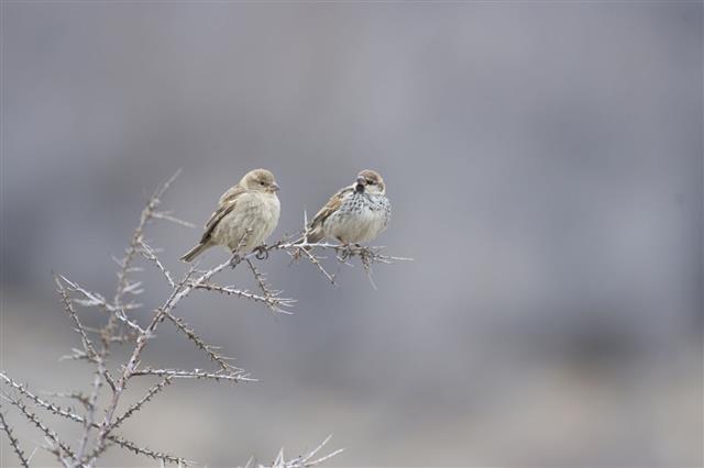 Pair Of Spanish Sparrow