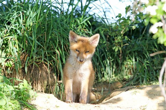 Baby Spring Fox