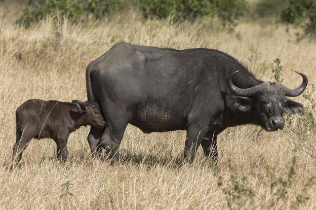Cape Buffalo Woth Baby