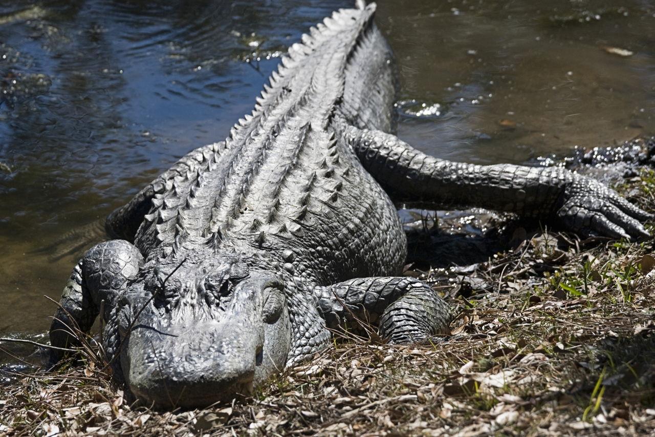 orlds biggest alligators - HD1280×853