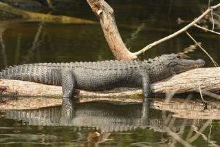 Alligator Full And Lazy