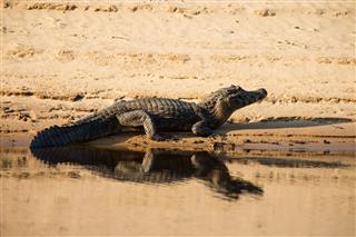Kaiman In Pantanal Brazil