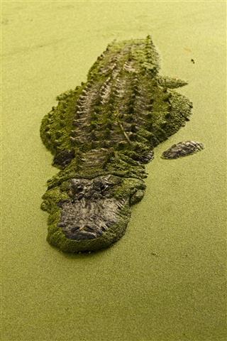 Alligator Lurking In Murky Florida Swamp