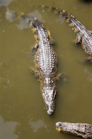 Siamese Crocodiles Mekong Delta