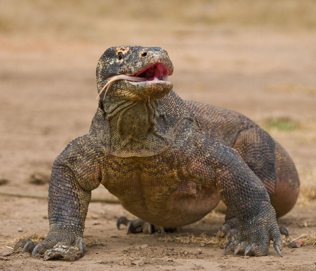 Komodo Dragon: Facts About The Komodo Dragon That Kids Would Enjoy