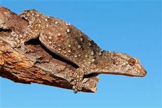 Bibron Gecko