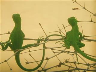 Twin Iguanas