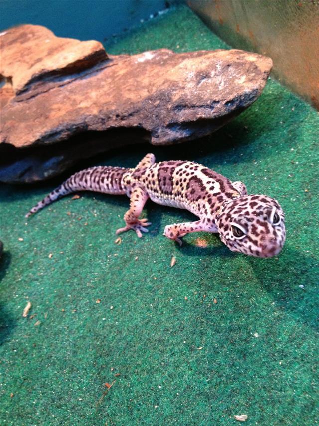 Prowling Leopard Gecko