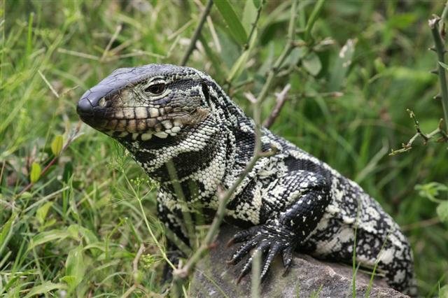 Dregon Reptile