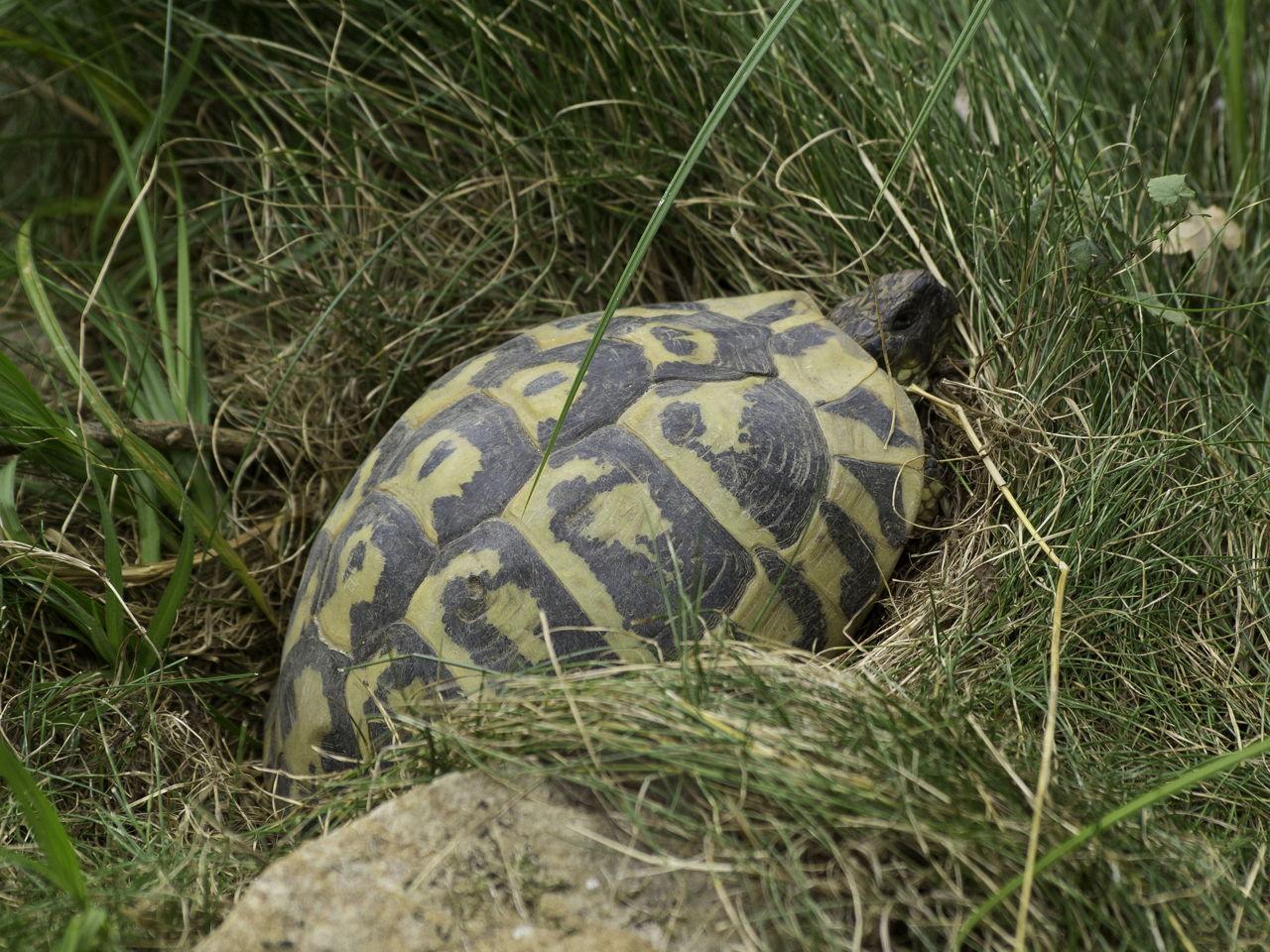 Russian Tortoise Life Span
