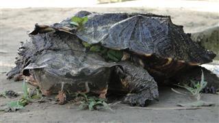 Snaping Turtle Amazonas Peru